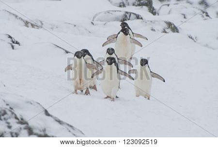 Adelie Penguin walk on snow in Antarctica
