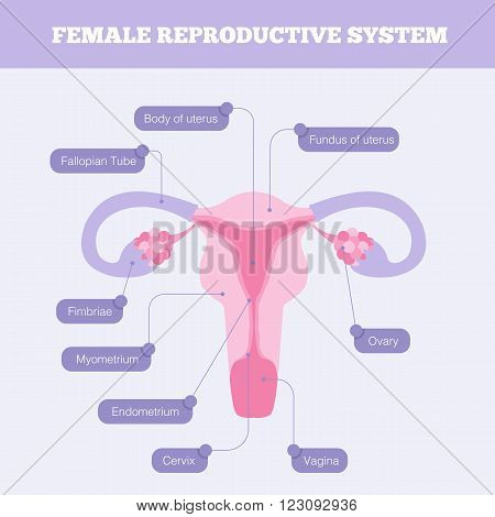 Female reproductive system flat vector infographic. Human anatomy including fallopian tube Ovary Fimbriae Cervix Vagina Myometrium and body of uterus with graphic element