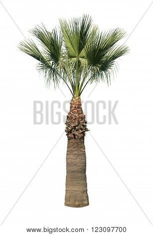Old palm tree isolated over white background