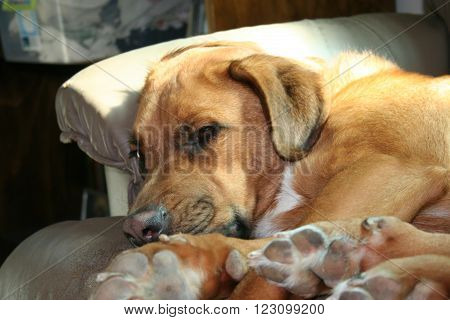 A young lazy dog rests on a couch.