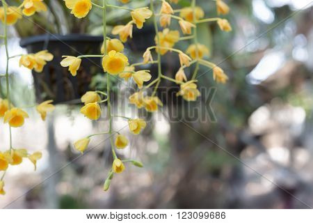 Beautiful Wild Flower Orchid,dendrobium Chrysotoxum ,rare Species Of Wild Orchids