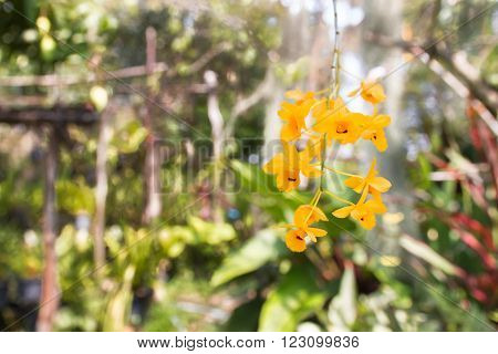 Beautiful Wild Flower Orchid,dendrobium Chrysanthum Lindl ,rare Species Of Wild Orchids