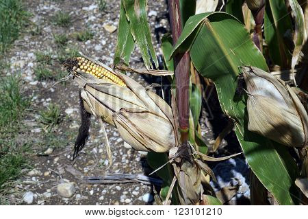 An ear of yellow corn ripens in a cornfield in Plainfield, Illinois during September