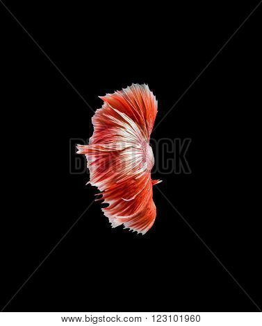 Capture the moving moment of red siamese fighting fish , betta isolated on black background.