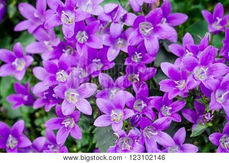 Macro view of a little Campanula flower