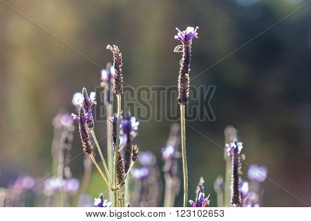 Field of Lavender flowers. lavender flowers background.  retro filter effect