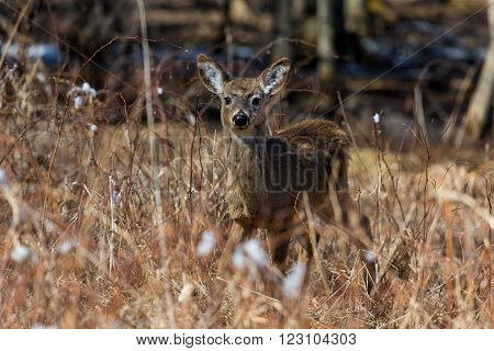 White Tailed Deer in a Boreal Forest Quebec.