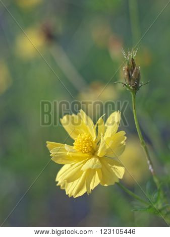close up of yellow cosmos or cosmos flower