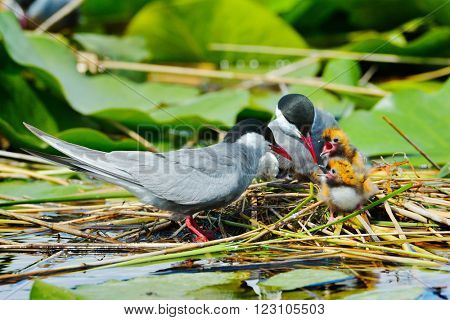 common tern feeding its chicks in the nest (sterna hirundo)