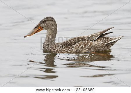 Female Shoveler Swimming In A Pond - Florida