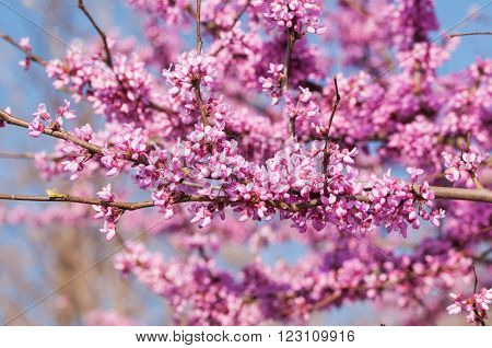 Branches full of pink flower clusters on Eastern Redbud tree in spring, with blue sky background