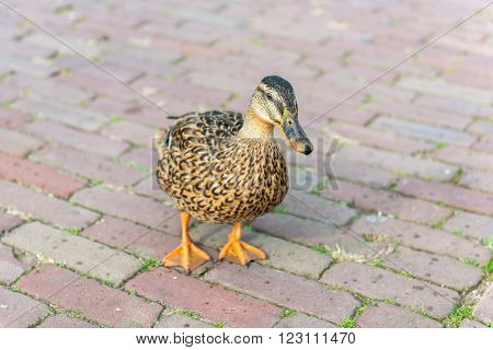 Small Wild Duck On A Pavement