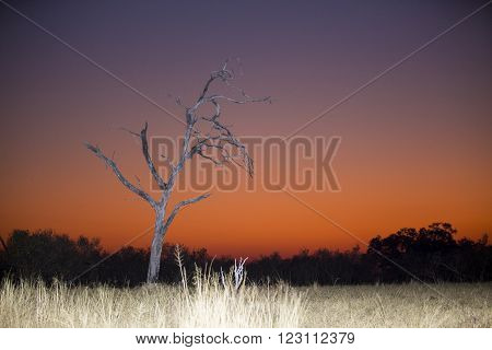 Orange and purle dawn in Botswana Africa just before the sun rises. A dry tree and savannah grass shows that life here can get hard.