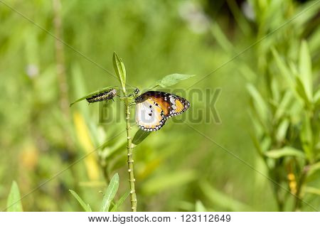 Both plain tiger butterfly and caterpillar on same plant