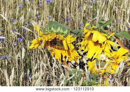 Cornflowers In A Wheat Field