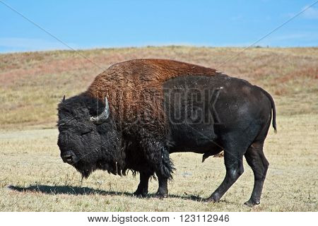 American Bison Buffalo grazing in Custer State Park in the Black Hills of South Dakota USA