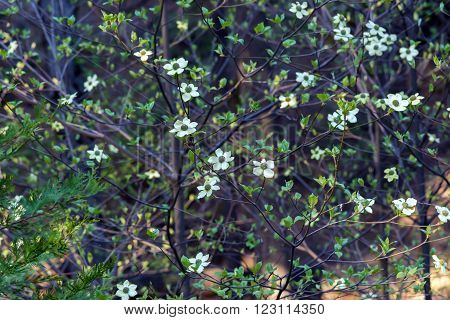 Dogwood tree with flowers in spring time