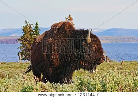 American Bison Buffalo Bull at Yellowstone Lake in Yellowstone National Park