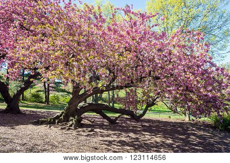 spring blooming tree in the Central park, New York