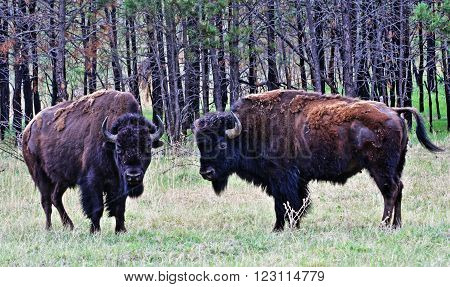 American Bison Buffalo Bulls facing off in Custer State Park in the Black Hills of South Dakota USA
