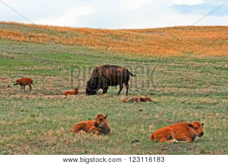 American Bison Buffalo Cow with Calf in Custer State Park