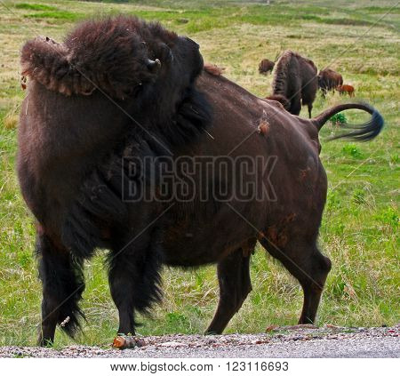 Buffalo Bison Cow grooming herself in Custer State Park in the Black Hills of South Dakota United States