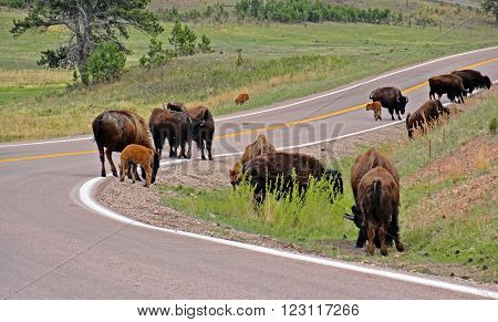 American Bison Buffalo herd on the road in Custer State Park in the Black Hills of South Dakota USA