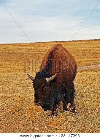 Young American Bison Buffalo in Custer State Park