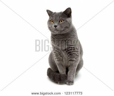 gray cat isolated on white background close up. horizontal photo.