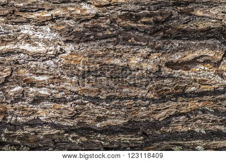Cortex of the pine - a part of stem tree natural natural background