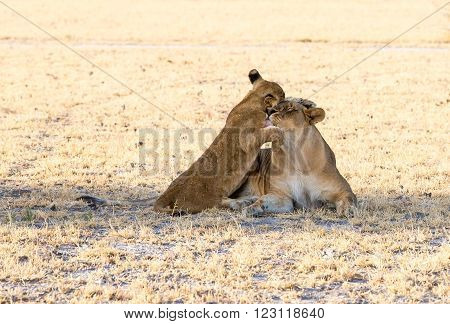 A young cub and it's mother lioness. The cub is standing up against the lioness giving it's mom a big bug with love.