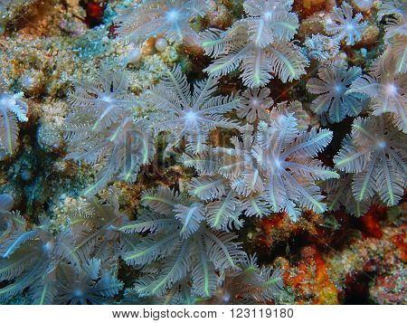 The surprising underwater world of the Bali basin, Island Bali, Pemuteran. Soft coral