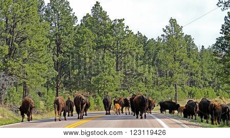 American Bison Buffalo herd blocking the road in Custer State Park in the Black Hills of South Dakota USA