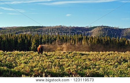American Bison Buffalo dusting off in Yellowstone National Park in the Black Hills of South Dakota USA
