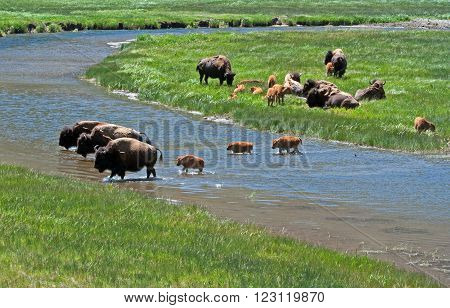 American Bison Buffalo Cow with Calf in Yellowstone National Park