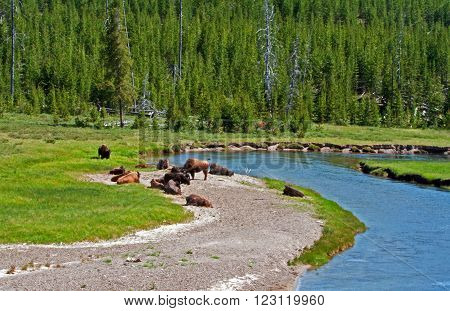 American Bison Buffalo herd in Yellowstone National Park in Wyoming USA