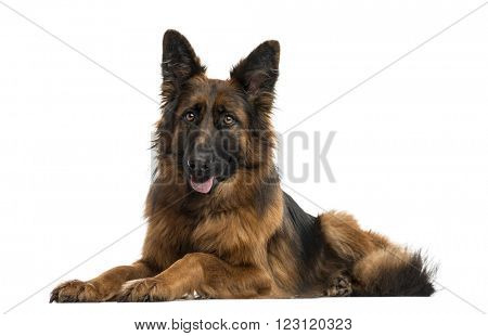 German shepherd lying down and sticking his tongue out, isolated on white