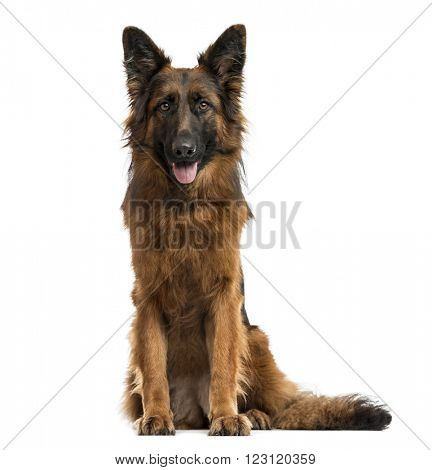 German shepherd sitting, looking at the camera and sticking his tongue out, isolated on white
