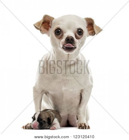 Chihuahua sitting with his puppy sticking his tongue out and looking at the camera, isolated on white