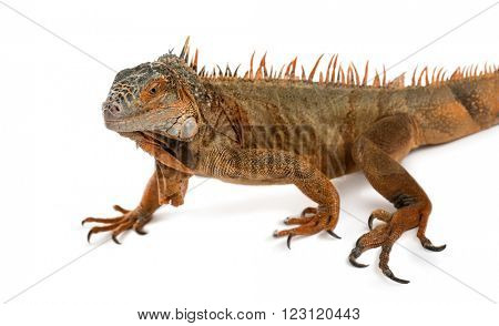 iguana walking, isolated on white