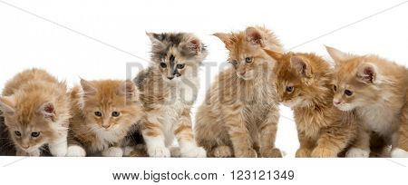Group of a Red Maine coon kitten looking down, isolated on white