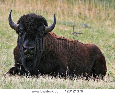 American Bison Buffalo resting in Wind Cave National Park in the Black Hills of South Dakota United States