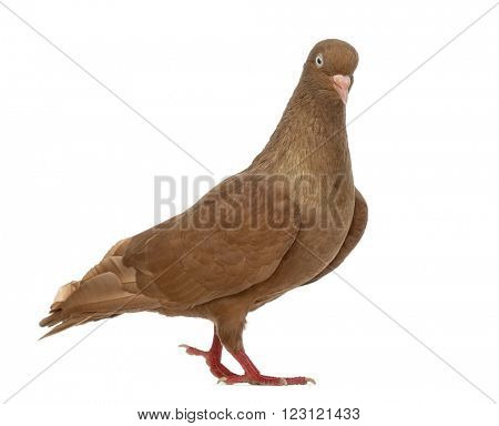 Tumbler belgium pigeon walking, isolated on white