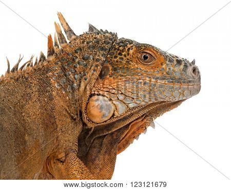 Close up of an iguana isolated on white