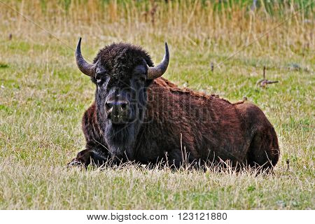 American Bison Buffalo resting in Wind Cave National Park in the Black Hills of South Dakota USA