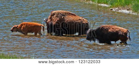 American Bison Buffalo Cow with Calf fording river in Yellowstone National Park