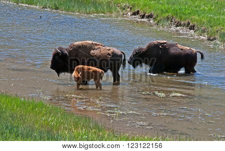 American Bison Buffalo Cow with Calf crossing river in Yellowstone National Park