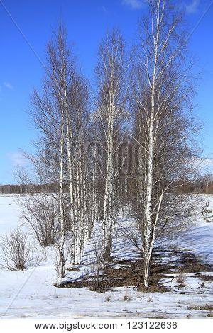 Birch In A Field In Winter