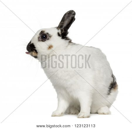 English spot rabbit sticking his tongue out, isolated on white