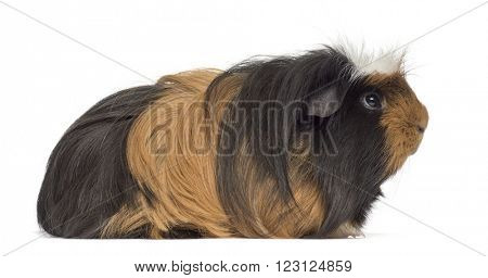 Guinea Pig lying down, isolated on white
